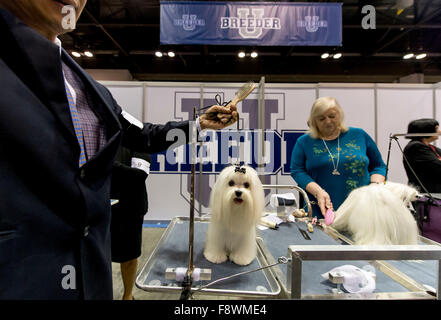 Orlando, Florida, USA. 11th Dec, 2015. Maltese dogs are groomed for competition at the 2015 AKC/Eukenuba Championships. - Stock Photo