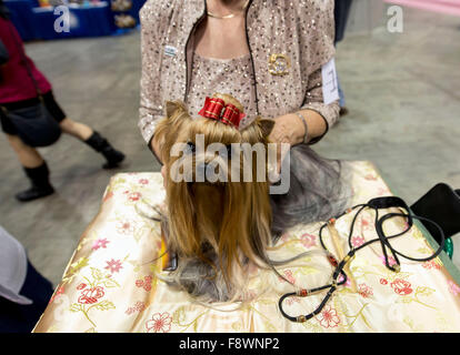 Orlando, Florida, USA. 11th Dec, 2015. A Yorkshire Terrier named ''Tucker'' is groomed at the 2015 AKC/Eukenuba - Stock Photo