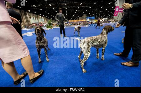 Orlando, Florida, USA. 11th Dec, 2015. German Short-Haired Pointers and their handlers compete at the 2015 AKC/Eukenuba - Stock Photo