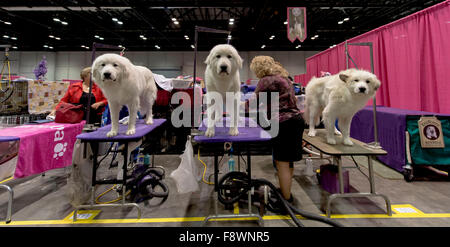 Orlando, Florida, USA. 11th Dec, 2015. Great Pyrenees dogs are groomed at the 2015 AKC/Eukenuba Championships. With - Stock Photo