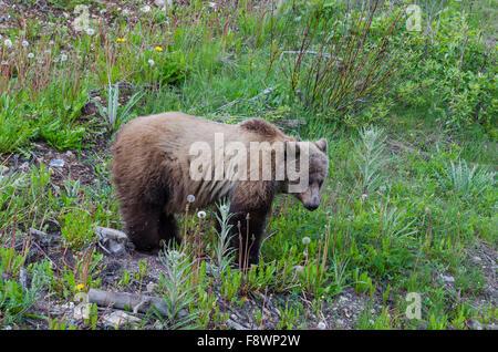 Grizzly bear, Yoho National Park, British Columbia, Canada - Stock Photo