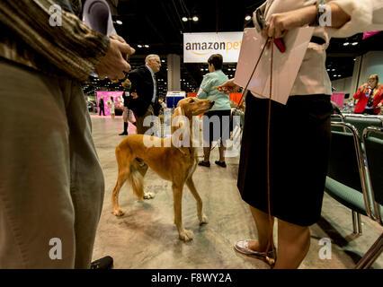 Orlando, Florida, USA. 11th Dec, 2015. A Saluki eyes a treat at the 2015 AKC/Eukanuba Championships. With over 6,100 - Stock Photo