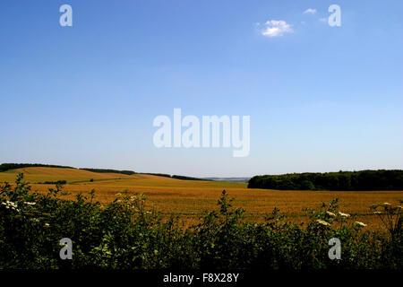 Corn filed in UK summer - Stock Photo