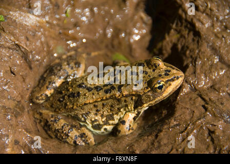 Frog, Flathead National Forest, Montana - Stock Photo