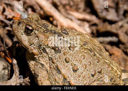 American toad, Middle Fork Flathead Wild and Scenic River, Great Bear Wilderness, Flathead National Forest, Montana - Stock Photo
