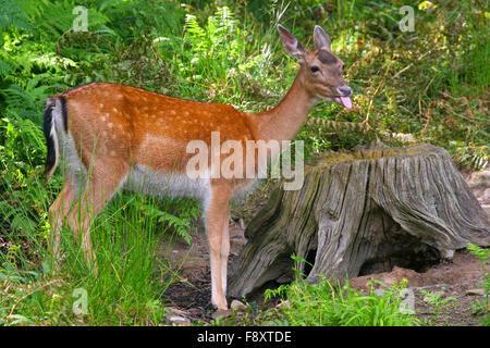 Fallow Deer (Dama Dama) sticking tongue out. - Stock Photo