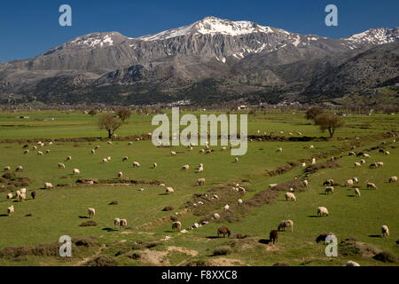 Sheep grazing on the Lassithi plateau in spring, Crete. A large inwardly-draining basin, at 800m, cultivated and - Stock Photo