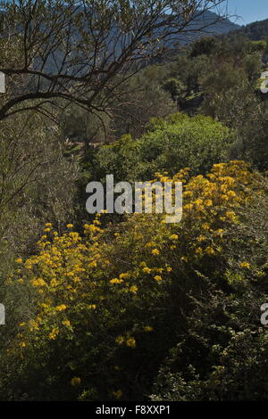 Honeysuckle Azalea or Yellow Azalea, Rhododendron luteum, in flower in spring, Lesvos, Greece - Stock Photo