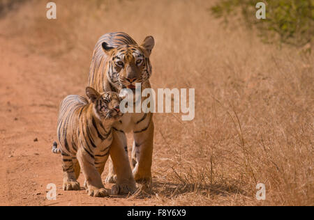 A bengal tiger with cubs in Tadoba Andhari Tiger Reserve - Stock Photo