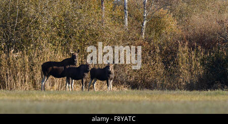 Moose cow (Alces alces) with two calves at Matsalu National Park, Estonia - Stock Photo