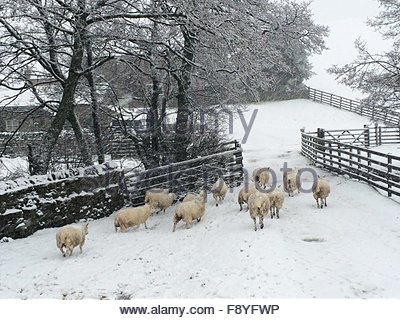 Holwick, Middleton-in-Teesdale, Co Durham, UK 12th December 2015. As snow falls in Upper Teesdale in the North Pennine - Stock Photo