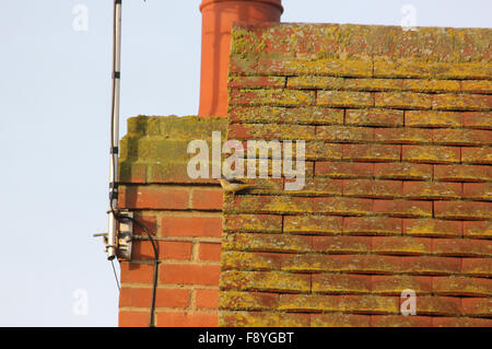 Female grey wagtail (Motacilla cinerea) on the gable edge of a tiled roof, next to a chimney - Stock Photo