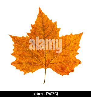 colorful autumn leaf isolated on white background - Stock Photo