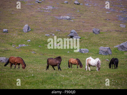 Snaefellsnes Peninsula, Iceland. 30th July, 2015. A string of wild horses graze on the Snaefellsnes Peninsula in - Stock Photo