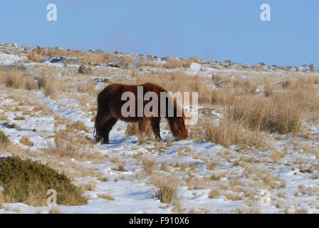 Dartmoor pony in the winter, Dartmoor National Park, Devon. - Stock Photo