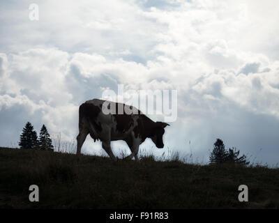 Grazing Cow in Pieniny mountains. Autumn. - Stock Photo