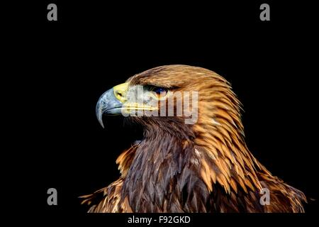 A horizontal portrait sharply rendered side-on, head and shoulder profile of a Golden Eagle against a black background. - Stock Photo