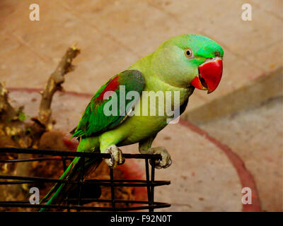 Beautiful Green Indian Parrot Sitting on Bicycle Handle - Stock Photo