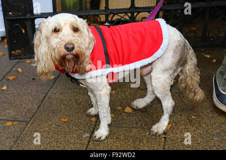 London, UK. 13th December 2015. Teddy the Cockerpoo at the All Dogs Matter Santa Paws Christmas Fair where dogs - Stock Photo