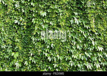 A green background from a hedge - Stock Photo