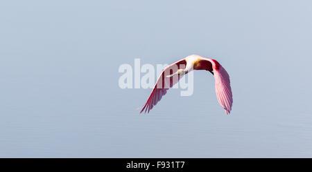 Roseate Spoonbill (Ajaia ajaja), Ding Darling National Wildlife Refuge, Sanibel Island, Florida, USA - Stock Photo