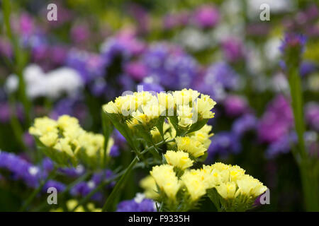 Limonium sinuatum 'Forever' flowers. Statice growing in a summer border. - Stock Photo