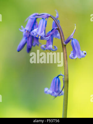 English Bluebells (Hyacinthoides non-scripta) isolated against natural yellow background. - Stock Photo