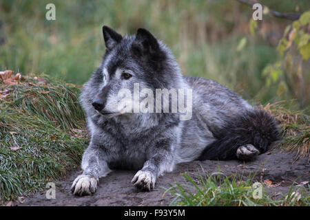 Grey wolf (Canis lupus) in Canadian Wilds zoo exhibit - Stock Photo