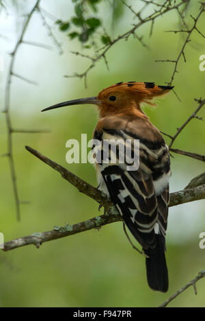 Eurasian Hoopoe or Common Hoopoe with crested up and nice perching on the branch, bird, Upupa epops - Stock Photo