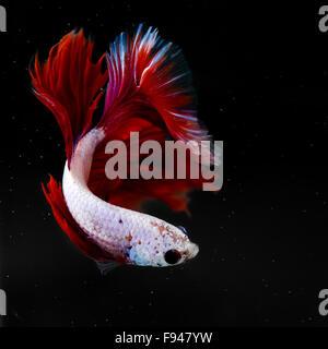 siamese fighting fish half moon - Stock Photo