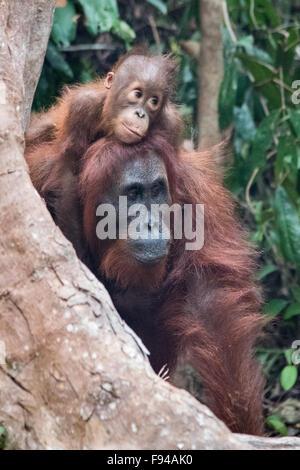 Borneo Orangutan (Pongo pygmaeus) with Baby, Tanjung Puting NP, Kalimantan, Borneo, Indonesia - Stock Photo