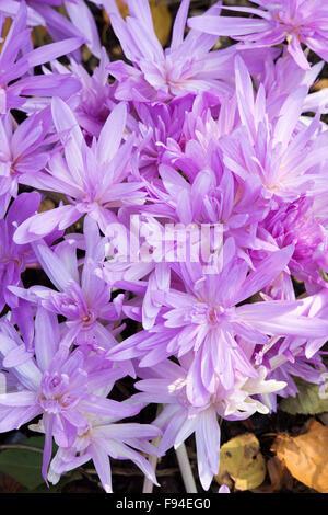 Colchicum 'Waterlily'. Meadow saffron 'Waterlily. Autumn flowering crocus flowers - Stock Photo