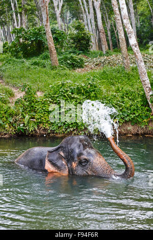 Elephant bathing in a river at elephant camp near Ao Nang town. Krabi Province, Thailand. - Stock Photo