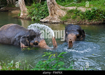 Elephants bathing in a river at elephant camp near Ao Nang town. Krabi Province, Thailand. - Stock Photo