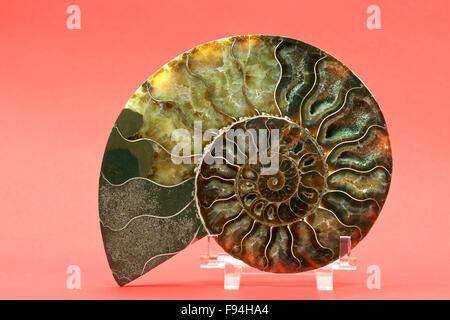 Sliced and polished ammonite (Cleoniceras cleon) fossil from Tulear, Madagascar. - Stock Photo