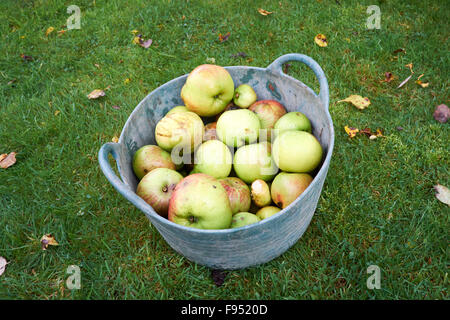 Windfall Bramley Apples Collected in Garden Trug. - Stock Photo