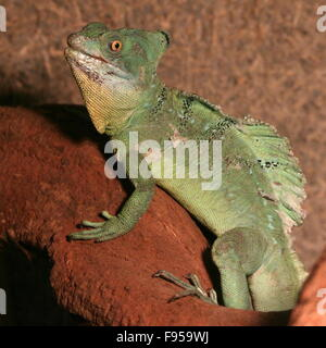 Male Central American Green or Plumed basilisk (Basiliscus plumifrons), a.k.a. double crested basilisk or  Jesus - Stock Photo