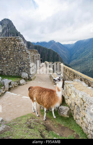 Brown and white llama with a cute, cheeky expression posing in the Inca walls and ruins of Machu Picchu, Inca Trail, - Stock Photo