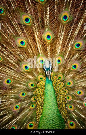 peacock, Pava spp., Charin Garden Resort, Chiang Rai Province, Thailand - Stock Photo