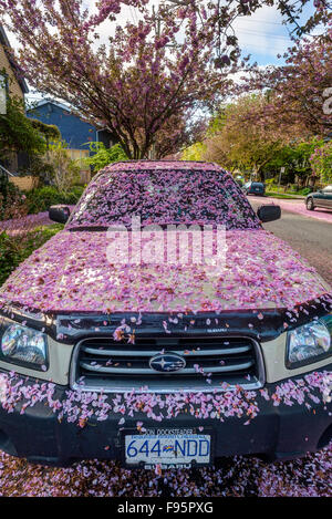 Cherry Blossoms covering a parked car along a residential neighborhood - Stock Photo