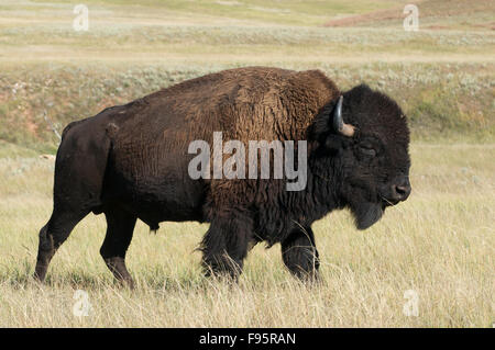 Closeup of American Bison bull walking in tall grass plains of Custer State Park, South Dakota, USA, (Bison bison) - Stock Photo