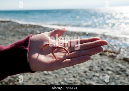 A tiny starfish shell is found at Sandcut beach trail, part of the Juan de Fuca trail on the West Coast of Vancouver - Stock Photo