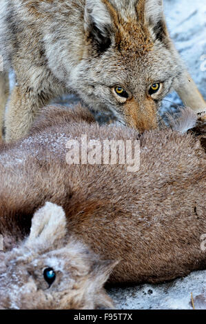 A wild coyote, Canis latrans,  feeding on a baby bighorn sheep Ovis canadensis, that it has just killed - Stock Photo