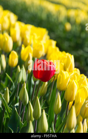 Commercial Tulip farm near La Conner during anual Tulip Festival in Skagit Valley April and May, La Conner Washington.USA - Stock Photo