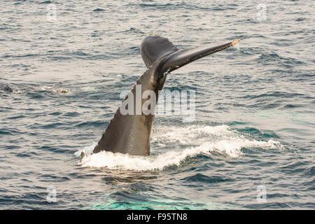 Humpback Whale tail lobbing, (Megaptera novaeangliae, Witless Bay Ecological Reserve, Newfoundland, Canada - Stock Photo