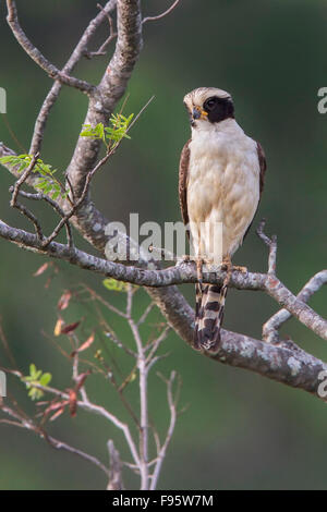 Laughing Falcon (Herpetotheres cachinnans) perched on a branch in the Atlantic rainforest of southeast Brazil. - Stock Photo