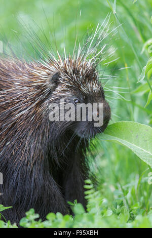 A Porcupine in southern Ontario, Canada. - Stock Photo