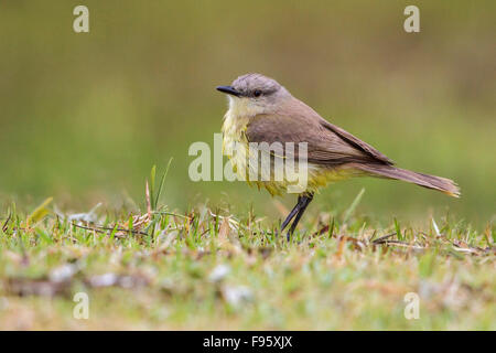 Cattle Tyrant (Machetornis rixosa) perched on the ground in the Atlantic rainforest of southeast Brazil. - Stock Photo