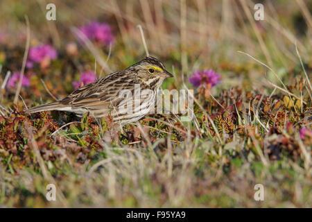 Savannah Sparrow (Passerculus sandwichensis) on the tundra near Churchill, Manitoba, Canada. - Stock Photo