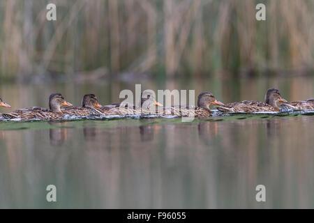 Mallard (Anas platyrhynchos), females, Kamloops, British Columbia. - Stock Photo
